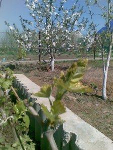 У нас еще абрикосы с черешней цветут, и уже виноград намылился!