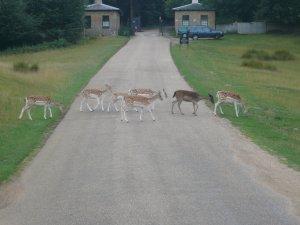 ... и даже олени там дорогу переходят правильно...