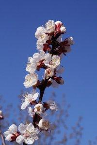 2RainComes:  >Цветёт айвА !  А у нас - абрикосы!