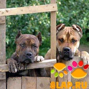 Испанская порода собак (Алано)