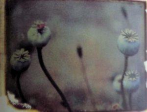 Poppy heads 1986