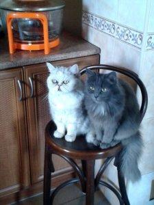 Муся и Дуся в ожидании сметаны.