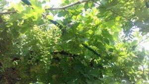 * Зреет виноград.