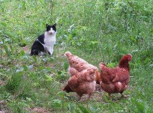 Временно исполняющм обязанности (ВРИО) петуха назначен кот Какашкин.