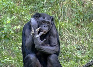Человеческая кисть оказалась примитивнее кисти шимпанзе