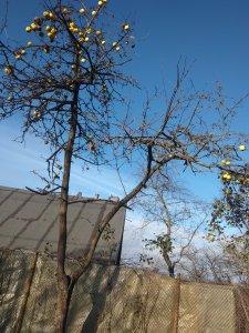 Листья облетели, а яблоки ещё нет.. Хотя кадр недельной давности.. может и яблоки уже того..)