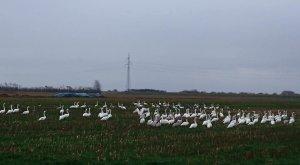 На полях рядом с моей деревней поселились лебеди.
