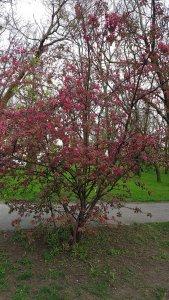 Райские яблочки зацвели. Абрикоски с Вишенками ещё в конце марта-начале апреля цвели )