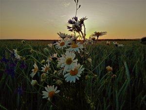 полевые цветы....