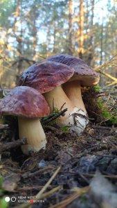 Сегодня дочя таких беленьких нашла,дожди пошли ,грибов будет..