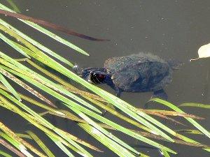сегодня была в ЦПКиО и сфоткала вот кого.. красноухая черепашка плавала прямо в реке.. видимо, кто-то добренький на волю выпустил