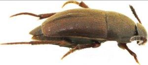 Нидерландские ученые назвали новый вид жука в честь Битлз — Ptomaphagus thebeatles, сообщает Discover Wildlife.